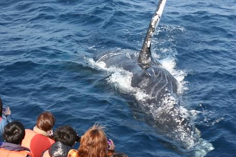< 美ら海水族館チケット付き!>●本部発●遭遇率99%!ホエールウォッチング