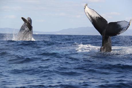 穴場の伊江島近郊でクジラ遭遇初体験!ホエールウォッチング!
