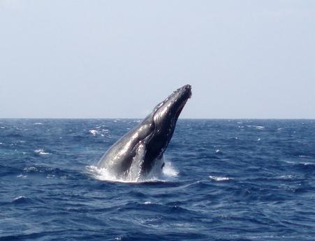 【午後発】慶良間諸島でクジラパフォーマンスに圧倒!ホエールウォッチング