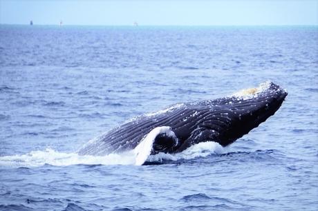 北谷発 クルーザーで行く!ホエールウォッチングツアー!クジラに会えなければ全額返金保証付き!