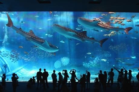 世界最大の哺乳類と世界最大の魚類と出会う!ホエールウォッチング&沖縄美ら海水族館入場券(大人)付き